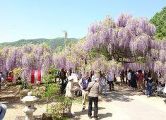 和気神社・藤公園(藤まつり)